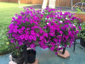 Petunias that are only supposed to survive through June.